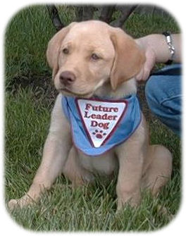 Leader dog in training golden lab puppy sitting with ears proped up and leader dog bandana around neck